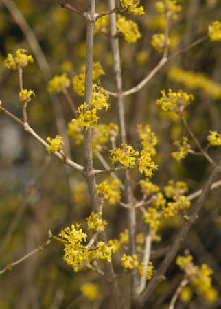 Cornus mas - Flower photo