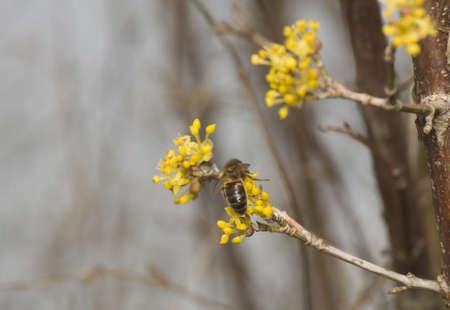 mas: Cornus mas - Flower