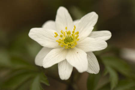 Anemone nemorosa 10 petals Stock Photo - 13328642