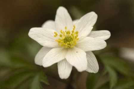 Anemone nemorosa 10 petals Stock Photo - 13328642