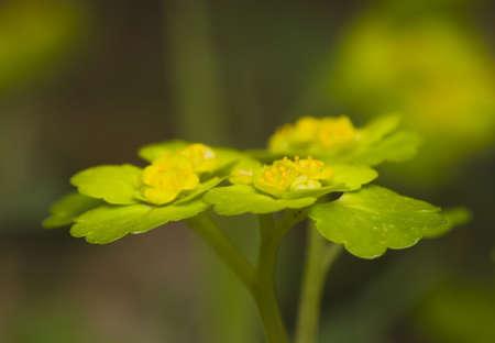 Chrysosplenium alternifolium Stock Photo - 13328612