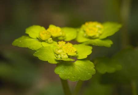Chrysosplenium alternifolium Stock Photo - 13328636