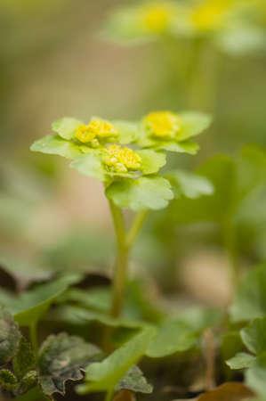 Chrysosplenium alternifolium Stock Photo - 13319654