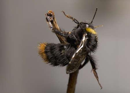 Bumblebee Stock Photo - 13328615