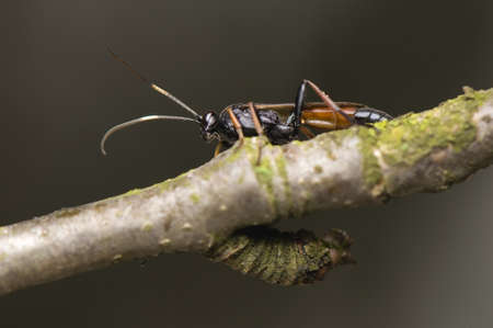predatory insect: Ichneumonidae Stock Photo
