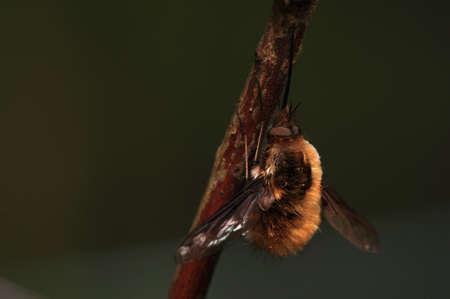 Bombylius major photo
