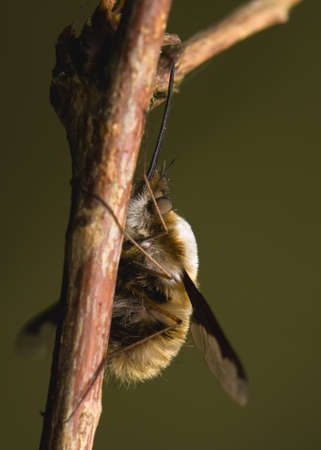 Bombylius major photo