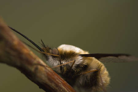 Bombylius major Stock Photo - 13360189