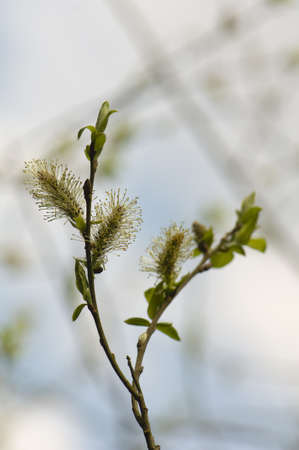 sallow: Willow flower