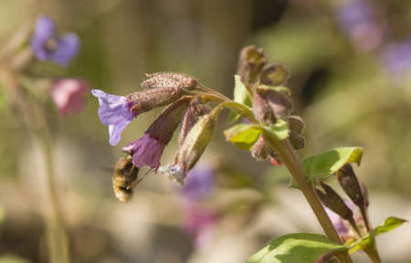 Pulmonaria obscura and bombylius major photo