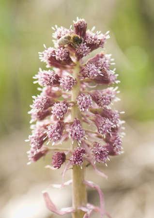 petasites: Petasites hybridus
