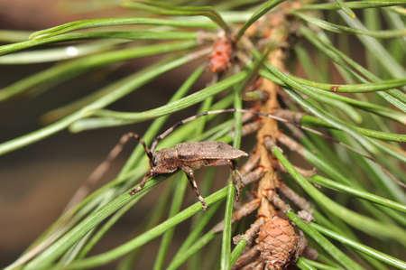 Acanthocinus aedilis photo