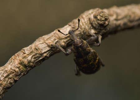 Hylobius abietis Stock Photo - 13406912