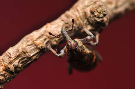 abietis: Hylobius abietis Stock Photo