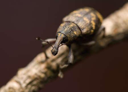 Hylobius abietis photo