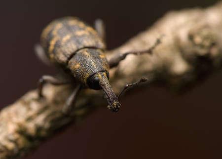Hylobius abietis Stock Photo - 13406903