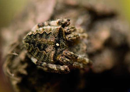 Araneus angulatus Stock Photo - 13629199