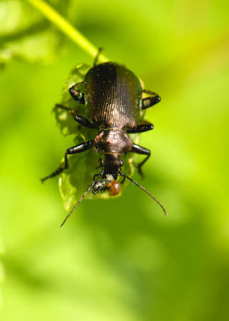 Calosoma inquisitor Stock Photo - 13627866