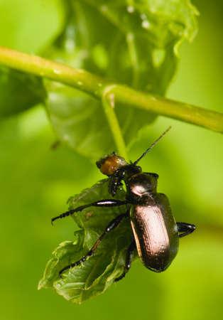 carabidae: Calosoma inquisitor Stock Photo