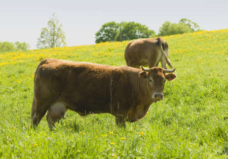 brown cow Stock Photo - 13629829