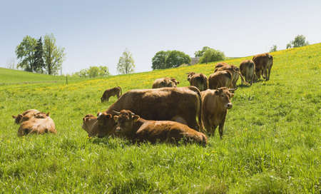 brown cow Stock Photo - 13629677