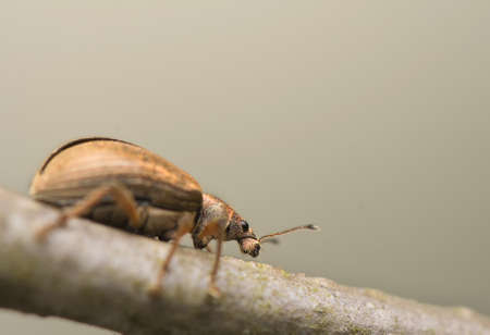 curculionidae: Phyllobius