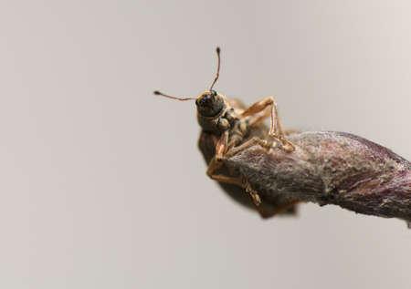 phyllobius: Phyllobius