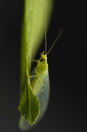 Chrysopidae photo