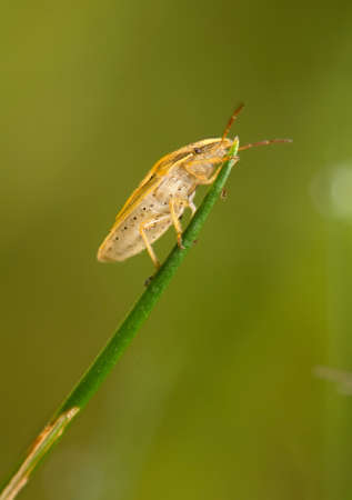 Aelia acuminata photo