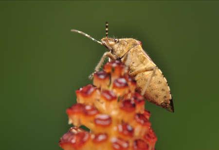 Dolycoris baccarum photo