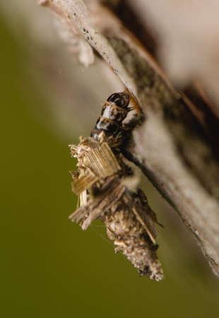 Larva Psychidae photo