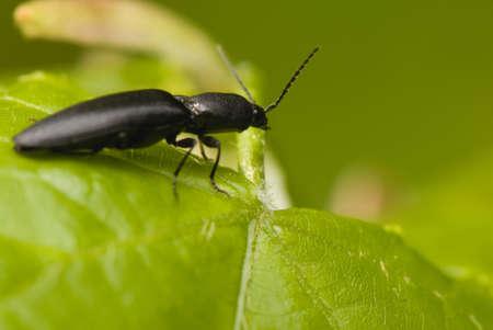 click beetle: Elateridae