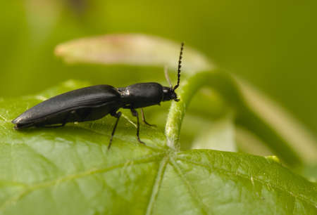 elateridae: Elateridae