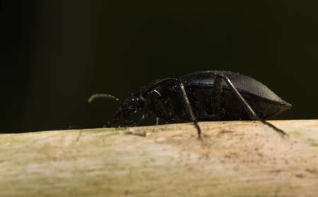 carabid: Carabus Stock Photo