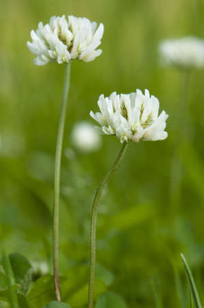 Trifolium repens Stock Photo - 13862834