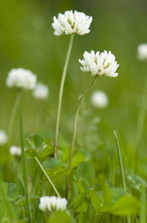 Trifolium repens Stock Photo - 13862830