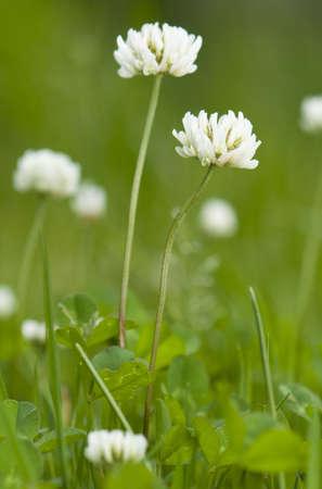 Trifolium repens Stock Photo - 13862830