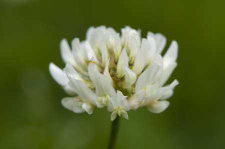 Trifolium repens Stock Photo - 13861480