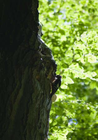 Woodpecker Dendrocopos major photo