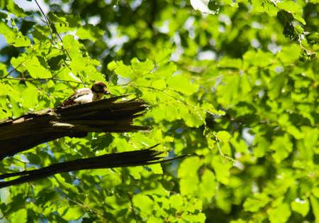 dendrocopos: Woodpecker Dendrocopos major Stock Photo