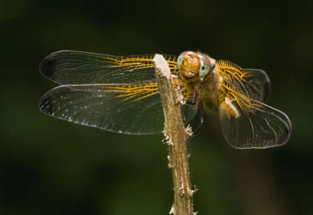 libellula: Libellula fulva Stock Photo