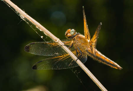 libellulidae: Libellula fulva Stock Photo