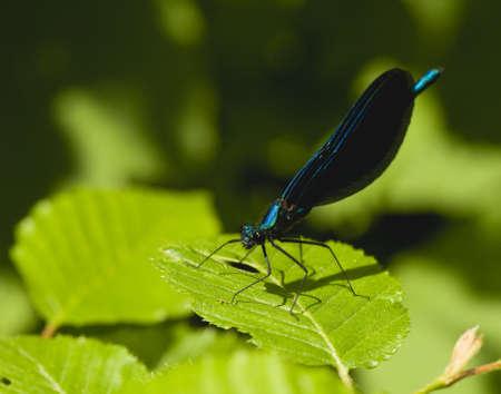 Calopteryx virgo photo