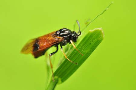 Arge cyanocrocea photo