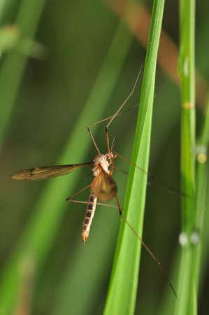 Tipulidae photo