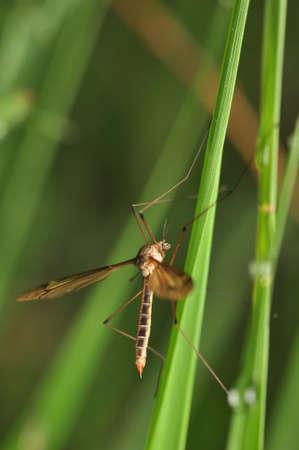 tipulidae: Tipulidae