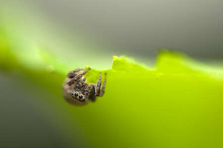 Jumping spider Stock Photo - 13897667