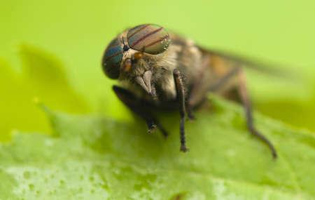 cleg: Horse fly