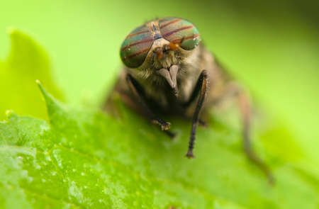 tabanidae: Horse fly