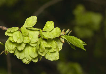 elm: Flower elm